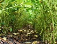 Mit Bestandesschluss wird es dunkle nacht unter gesunden Sojabeständen. Hier ist die Beikrautregulierung gelungen. Foto: Taifun Tofuprodukte