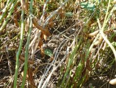 Befallene Pflanzen sind gleichmäßig im Bestand verteilt und sterben deutlich früher ab. Foto: Taifun Tofuprodukte