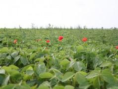 Beikrautregulierung ist eine der zentralen Herausforderungen im Sojaanbau. Der Mohn ist ja ganz hübsch - wenn nur die Disteln im Hintergrund nicht wären! Foto: Taifun  Tofuprodukte