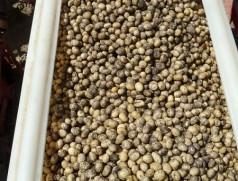 Frisch beimpfte Sojasaat im Säkasten. Auch bei Verwendung von Mitteln mit Haftstoff sollte so kurz wie möglich vor der Aussaat frisch geimpft werden. Foto: Taifun Tofuprodukte