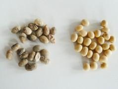 Links massiv befallene Körnern, rechts im Vergleich gesunde. Foto: Taifun Tofuprodukte