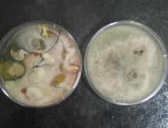 Untersuchung des Diaporthe-Befalls von Soja-Saatgut nach ISTA-Standard. Typisch für Diaporthe sind die gelben Tröpfchen im linken Bild. In der rechten Petrischale wächst der Referenzstamm allein. Foto: LTZ Augustenberg