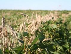 Biosoja in Winterweizen. Etwas längeres Stroh beim Weizen wäre von Vorteil... Foto: Taifun Tofu