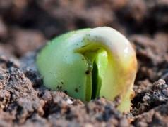 Soja keimt epigäisch: Das Hypokotyl schiebt sich aus dem Boden und beginnt, die Keimblätter mitzuziehen. Foto: FiBL Deutschland e.V.