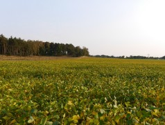 Wenn die Wasserversorgung passt, gedeiht Soja auch auf sehr nährstoffarmen Böden wie hier in der Mark Brandenburg. Foto: Taifun Tofuprodukte