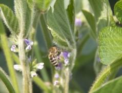 Hierzulande ein seltener Anblick: Honigbiene an Sojablüte. In Brasilien wurden jedoch erhebliche Ertragssteigerungen durch Bienenbestäubung bei Soja nachgewiesen. Foto: Taifun Tofuprodukte