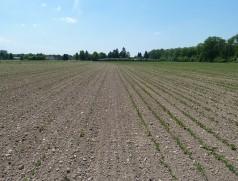 Exakt gleiche Saatbedingungen. Das Saatgut links auf dem Acker hatte laut Vermehrer höhere KF als das rechts! Ein Triebkrafttest hätte rechtzeitig vor der Aussaat Licht ins Dunkel gebracht. Foto: Taifun Tofuprodukte