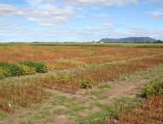 Soja-Zuchtgarten in Kanada: Nach wie vor wird in Nordamerika intensiv Sojazüchtung betrieben. Auch in Zukunft sind von dort interessante Sorten für das deutsche Klima zu erwarten. Foto: Taifun Tofuprodukte