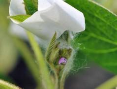 Um Sojasorten zu kreuzen werden die kleinen Blüten der Mutterpflanze manuell kastriert und mit dem Pollen der Vaterpflanze bestäubt. Der weiße Kleber verbirgt eine kastrierte, frisch bestäubte Blüte, die mit Watte vom Austrocknen geschützt wird. Foto: K.-P. Wilbois, FiBL Deutschland e.V.