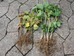 Vergleich befallene und gesunde Pflanzen vom selben Standort. Foto: H. Sprich, ZG Raiffeisen
