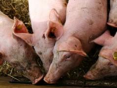 In der Schweinemast spielt Sojaeiweiß eine zentrale Rolle. Bisher wird der Bedarf fast ausschließlich in Übersee gedeckt. Foto: www.fotolia.com (Turi)
