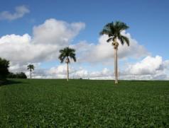 In Südamerika wird aktuell überwiegend GVO-Soja angebaut. GVO-Spuren in europäischen Sojaproben lassen sich häufig auf Stäube aus Sojaimporten aus Amerika zurückführen. Hier hilft nur die stets sorgfältige Reinigung von LKW, Containern etc. Foto: Taifun Tofuprodukte