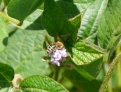 Besser als ihr Ruf: Soja als strenger Selbstbestäuber. Bei hohen Temperaturen öffnen sich die Blüten jedoch und bieten etwas Nektar für Bienen und Co. Foto: Taifun Tofuprodukte