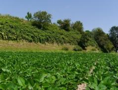 Mit der Sojabohne erfährt der Leguminosenanbau in Deutschland endlich wieder einen kleinen Aufschwung. Foto: Taifun Tofuprodukte