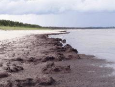 Algenmatten am Strand von Glowe auf Rügen. Foto: Wera Leujak