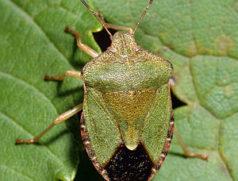Heimischer Generalist, der gelegentlich auch in Soja anzutreffen ist: Adulte Sommerform der Grünen Stinkwanze. Foto: Wikipedia